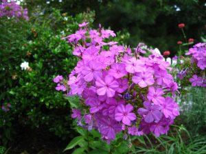 vd schoot hoveniers phlox paniculata